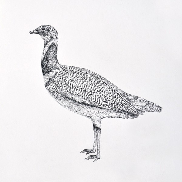 Pen Illustration of a bird